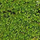 Luffy Wild Christmas Moss