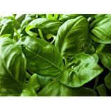 Basil Herb Seeds- Italian Large Leaf- 300+ Seeds