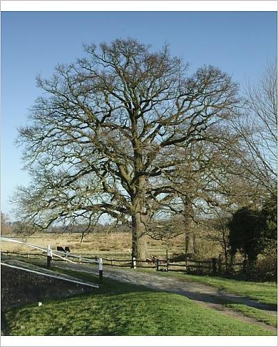 Photographic Print of Quercus sp., oak