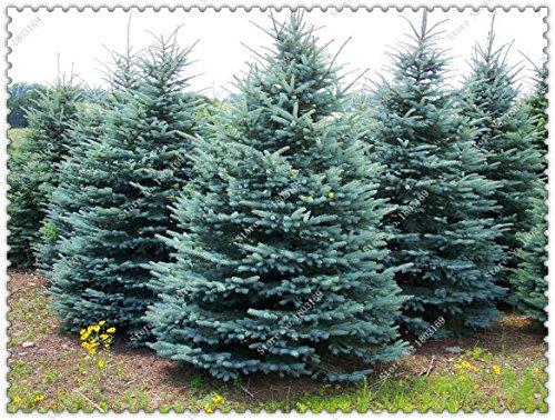 100pcs / bolsa de semillas de árboles de abeto azul del árbol de Navidad muy bonito para el bricolaje mejor regalo de los childs, jardín de su casa Bonsai Plant SVI