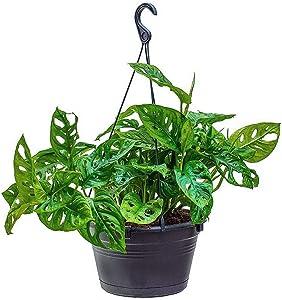 "American Plant Exchange Monstera Adansonii Swiss Cheese Live Plant, 8"" Hanging Basket, Indoor Air Purifier"