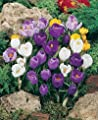 (1 gallon) CROCUS MIXED-Crocuses are the first real sign of spring, Feast of color in early spring with these super large flowering crocuses,(NO PLANTING NEEDED & READY FOR BLOOMS)