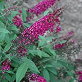 buy CranRazz Butterfly Bush - Live Plant - Trade Gallon Pot now, new 2018-2017 bestseller, review and Photo, best price $29.99