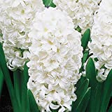 Snow Drift White Hyacinth Bulb and Glass Vase for Forcing