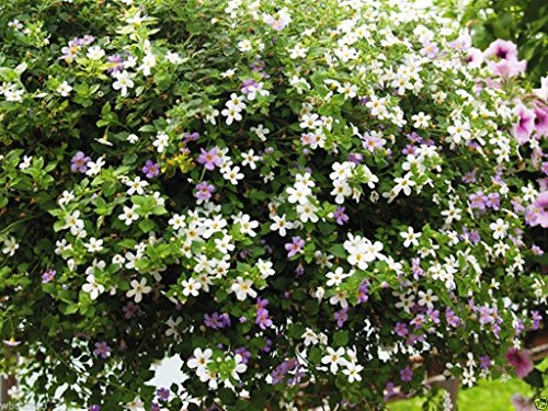 Utopia Mix Bacopa Seeds, Perfect for Hanging Baskets and Windowboxes. Perennial !