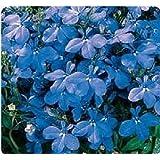 Fiore - Lobelia Bedding - Riviera Blu Cielo - 2000 Seme - Annuale