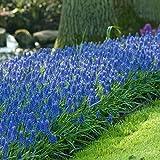Muscari Armeniacum Grape Hyacinth Flower Bulbs - 250 Bulbs - Buy in Bulk