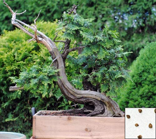 Giant Cedar 60 Seeds Thuja Plicata Bonsai Western Red Cedar Tree 1143 3 Amazon Ca Patio Lawn Garden