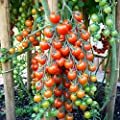 Tomato Garden Seeds - Supersweet 100 Hybrid - Non-GMO, Vegetable Gardening Seed - Super Sweet