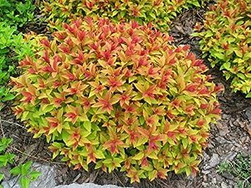 Garden Shrub Plants, Spiraea Goldflame. pink flowering, gold