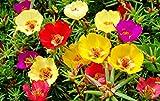 Portulaca grandiflora mix Flower Seeds from Ukraine