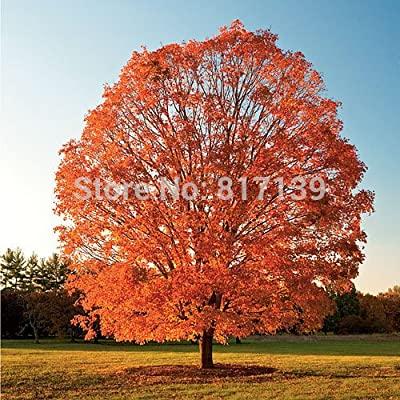 Garden Plant 50 Seeds Northern Sugar Maple Acer Saccharum Rock Maple Fall Colors Tree Seeds