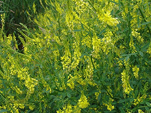 5Lb Yellow Blossom Sweet Clover - Deer Bees Pasture Forag...
