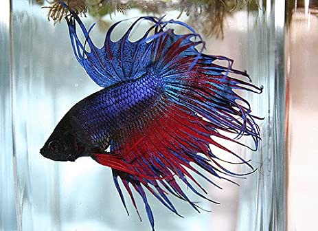 Male Betta | Amazon Com Betta Male Crowntail 3 Inches Assorted Colors