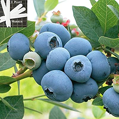 Organic Hardyblue Blueberry (Heirloom) 300+ Seeds 646263362754 + 2 Free Plant Markers - Great For Pancakes
