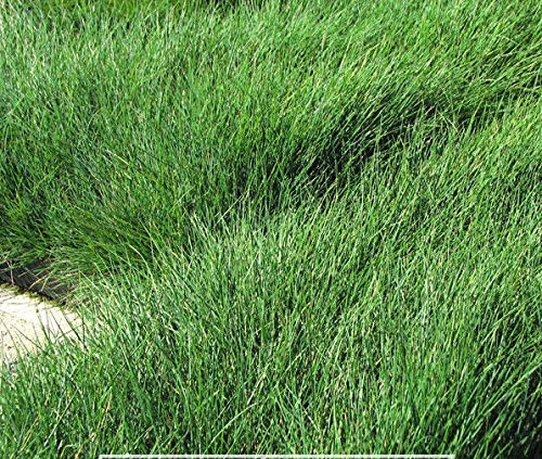- Green Fescue Seed clumping Ornamental Grass Non invasive (Sheep's Fescue)