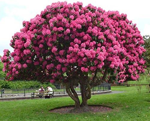 Lonlier Semillas de Cerezo Japones Semillas de Flor árbol para ...