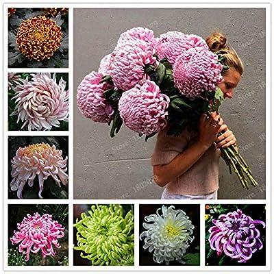 Portal Cool Chinese Mum Seeds Rare Perennial Flower Chrysanthemum Plant Mix Color 200 Seeds : Garden & Outdoor