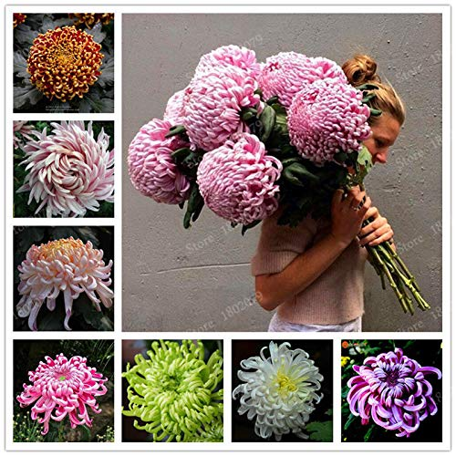 Portal Cool Chinese Mum Seeds Rare Perennial Flower Chrysanthemum Plant Mix Color 200 Seeds ()