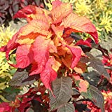 Outsidepride Amaranthus Illumination - 5000 Seeds