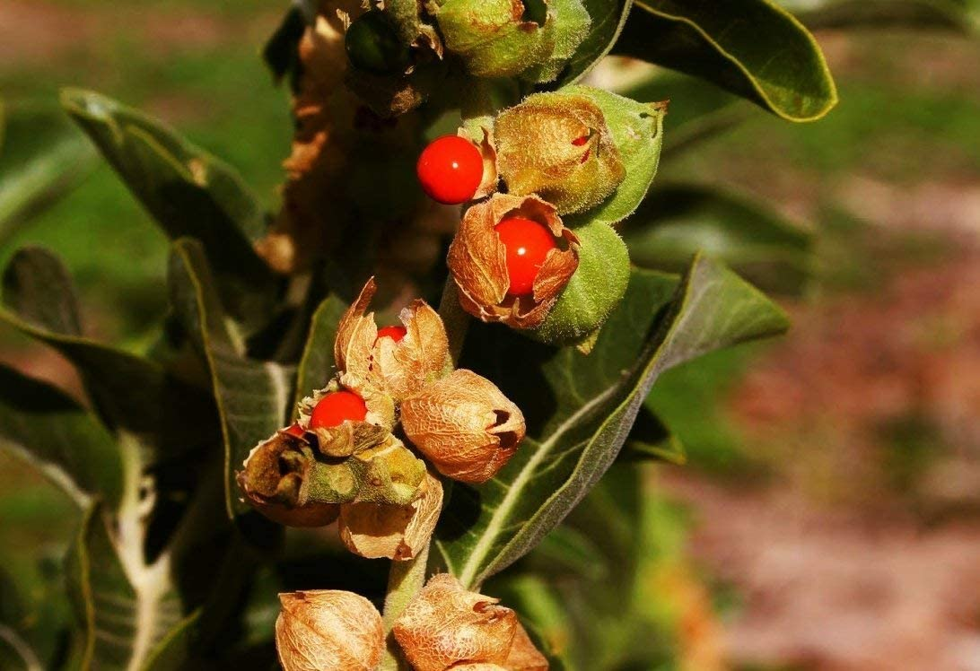 GEOPONICS semillas Withania somnifera 100