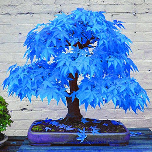 Potato001 20Pcs Beautiful Rare Blue Maple Seeds Bonsai Plants Garden Home Tree - Blue Bonsai