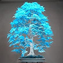 10PCS elegant powder blue Japanese maple seeds mini bonsai seeds bonsai tree seeds Maple Seeds bonsai garden Home