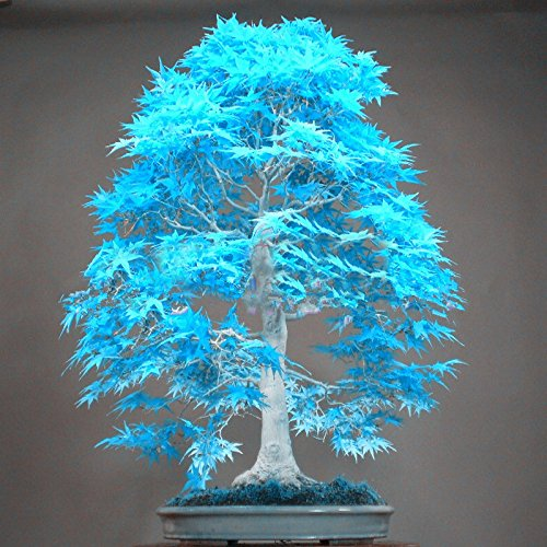10PCS elegant powder blue Japanese maple seeds mini bonsai seeds bonsai tree seeds Maple Seeds bonsai garden Home SVI