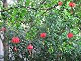 "1 Rooted of Hibiscus Schizopetalus ""Aloalo Ko'akoa"""