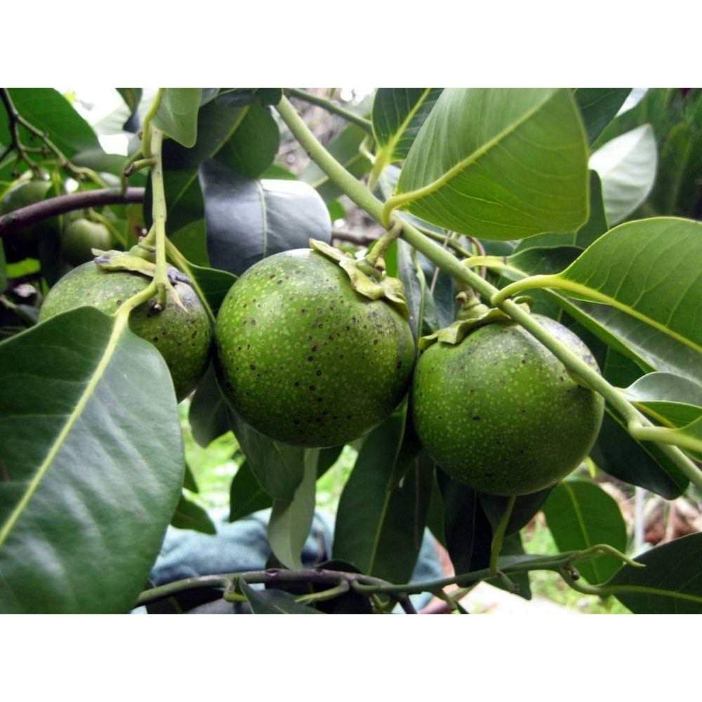 Black Sapote Tropical Fruit Trees 3 Feet Height in 3 Gallon Pot #BS1