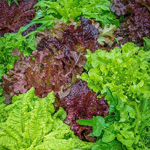Burpee Seed Lettuce (Burpee Looseleaf Blend Lettuce Seeds 1500 Seeds)