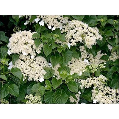 Climbing Hydrangea, Hydrangea anomala petiolaris, Seeds (Vine/Ground Cover) (150) : Garden & Outdoor
