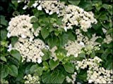 Climbing Hydrangea, Hydrangea anomala petiolaris, Seeds (Vine/Ground Cover) 300 seeds