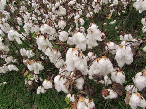 Gossypium hirsutum SEMILLAS algodón americano!: Amazon.es: Jardín