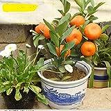 10pcs/Bag Balcony Patio Potted Fruit Trees Planted bonsais Kumquat bonsais Orange bonsais Tangerine Citrus