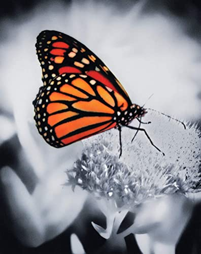 Bright Monarch Butterfly Photograph in the Garden Nature Photo Wall Decor Garden Artwork Butterfly Photography Colorful Insect Art