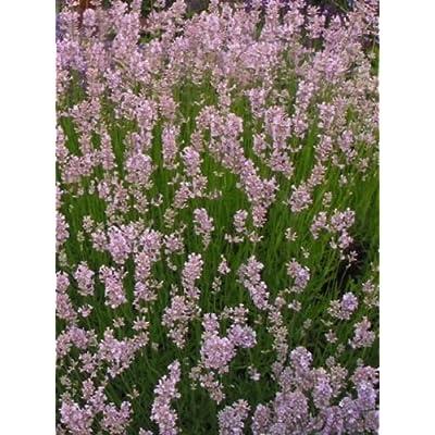 50 Lavandula Seeds Ellagance Pink ( Perennial ) Pink Lavender : Garden & Outdoor