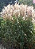 Tropica - HHierbas y Bambús - Corte China - Plumas Plata (Miscanthus chinensis) - 200 Semillas