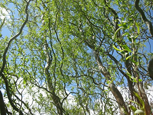 Weeping Willow Branch (Corkscrew Curly Weeping Willow Tree - Live Plant - Quart Pot)
