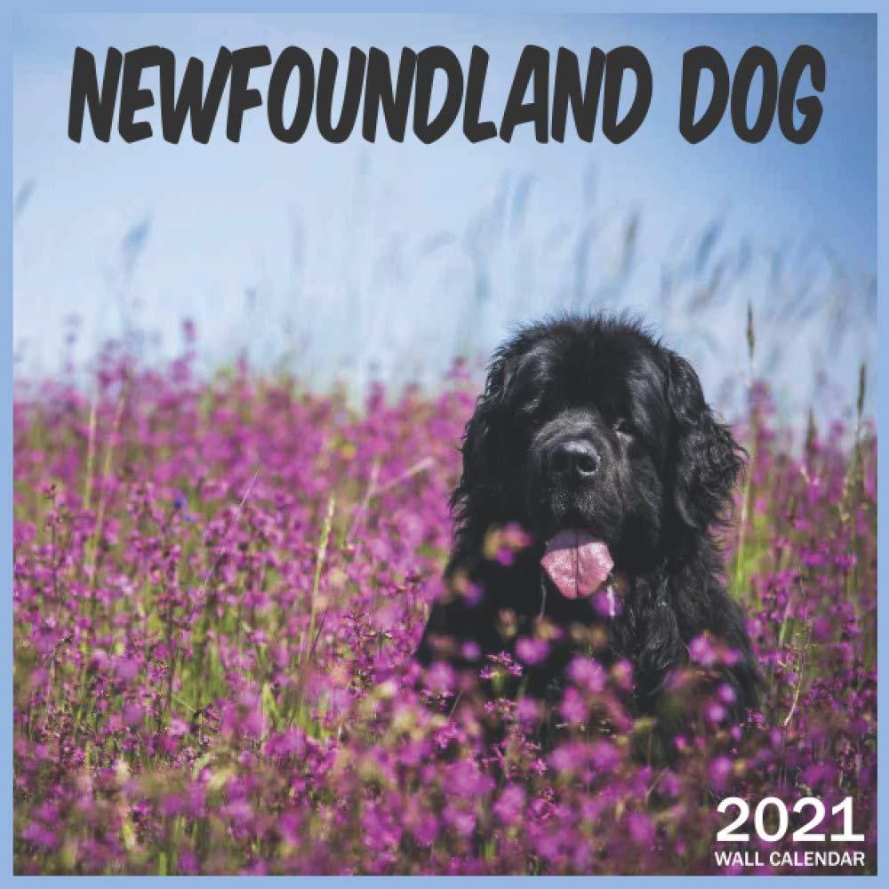 2021 Newfoundland Dog: 2021 Wall & Office Calendar, 12 Month
