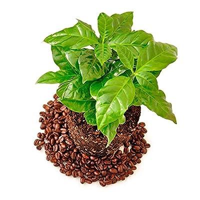 20 Arabian Coffee Seeds Heirloom Seed Easy to Grow Home Garden Vegetable Seeds Farm Seed : Garden & Outdoor