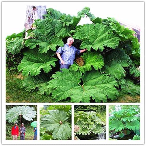 Las semillas de Gunnera Manicata también llamadas semillas de ...