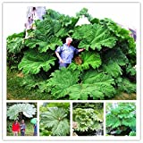 Gunnera Manicata Seeds Also Called Giant Rhubarb Seeds Grow In Partial Shade Huge Leaves Outdoor Plant in Garden 50 Pcs/Bag