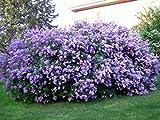 Syringa Vulgaris Lilac Plant Fragrant Blooms,shrubs. Exceptionally Hardy,1 yr Plant