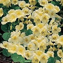 "(ANAS)~Creamy~""MILKMAID"" NASTURTIUM~Seeds!!!~~~~Magnetic Beauty!!"