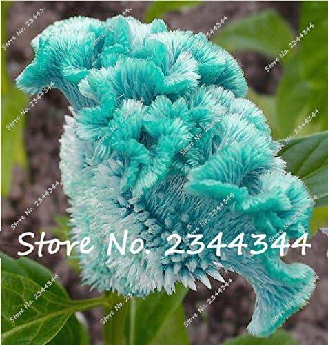 100 pcs semillas azules Cockscomb, planta spicata celosia, semillas de flores de árboles bonsai azul puro Cresta de gallo en maceta para el hogar planta de jardín: Amazon.es: Jardín