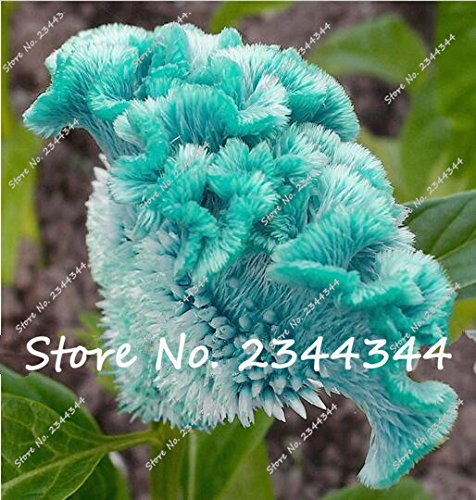 100 pcs blue Cockscomb seeds, celosia spicata plant, bonsai flower seeds Pure blue Cockscomb tree potted for home garden plant 100 Blue Units