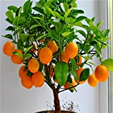Fruit seeds Dwarf Standing Orange Tree seeds Indoor Plant in Pot garden decoration plant 30pcs E01