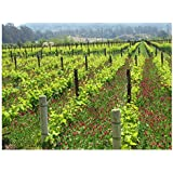 Melville Vineyard Pinot Noir Vines, Lompoc, CA, Santa Barbara County Wall Art by Janet Penn Design (11