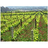 "Melville Vineyard Pinot Noir Vines, Lompoc, CA, Santa Barbara County Wall Art by Janet Penn Design (16"" x 20"")"